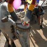 Vache décorée pour le Pongal