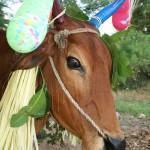 Pongal festival, jolie vache