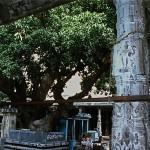 Ekambareshvara Temple, sacred Manguier
