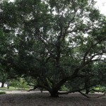 Tree on the Theosophical Society