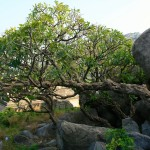 Photos JC Inde  janvier 2007 Gingee Vedantangal Mahabalipuram 158