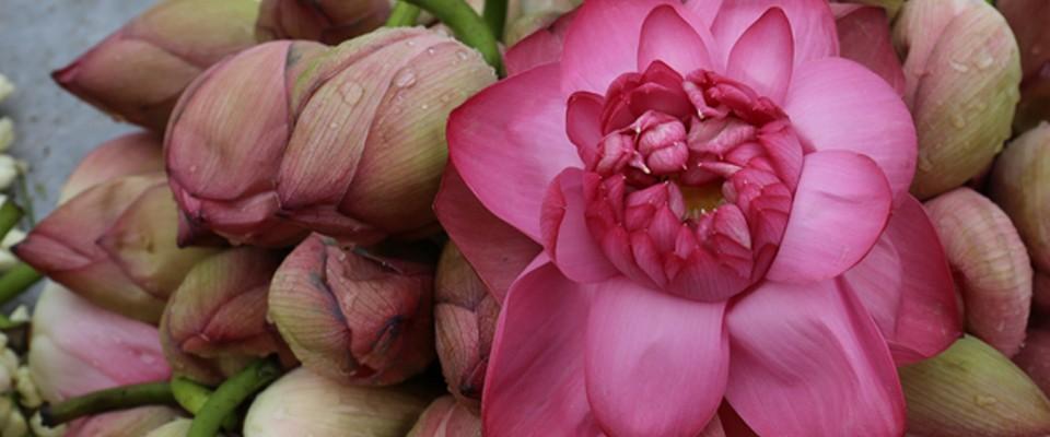 calque-Lotus