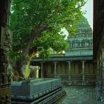 Ekambareshvara Temple, Manguier sacred