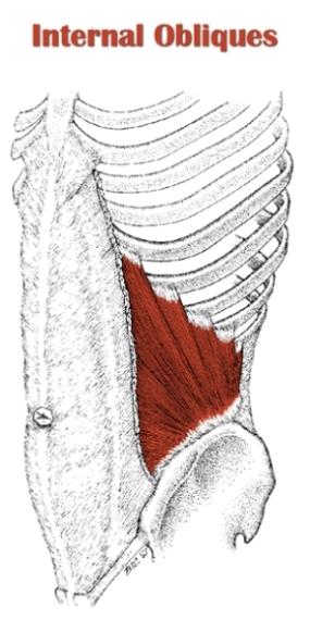 internal-obliques
